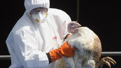 بريطانيا تعدم آلاف الديكة الرومية بسبب إنفلونزا الطيور